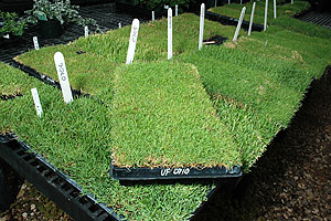 Since 1994, Texas Tech researchers have been working on creating durable, economically and environmentally friendly turf grasses like Turffalo and the new Shadow Turf for residential and commercial use.