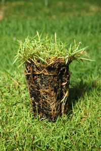 Shadow Turf will grow in areas with 80% to 90% shade and will stay green on as little as 4 inches of water per month.
