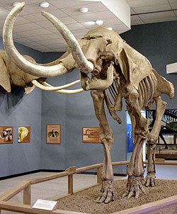 View of the Megafauna Gallery, Museum of TTU, Photo by Bill Mueller, Collection Photographer