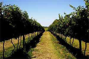 The Texas High Plains is the second largest American viticultural  area in Texas and third largest in the U.S. The high elevation combined with low precipitation allows for a favorable climate for fruit ripening.