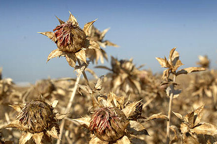 The Safflower, previously grown to produce yellow and red clothing dye, is expected to flourish in region's crop rotations as a component of oil, meal and birdseed mixtures.