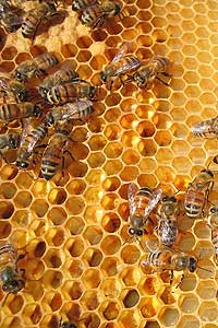 The study is showing an association of death rates of the bees with the virus and fungus present.