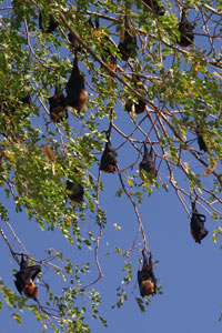 Because of the importance of bats as pollinators, seed dispersers and agents of pest control, this dramatic loss of bat diversity could wreak havoc on this area of the world.