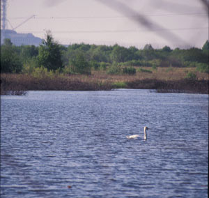 A swan bobs on the gentle waves of Glyboke Lake in Ukraine, where only the crackling of a Geiger counter reminds you of Chernobyl.