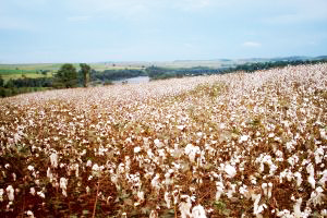 Emerson aims to determine whether more traditional crops can be utilized as an alternative to cotton.