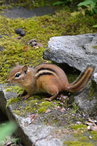 Eastern chipmunks (Tamias striatus) are common predators of songbird nests eating the eggs, nestlings and even fledgling young.
