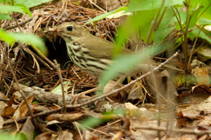 Ovenbirds (Seiurus aurocapillus) are ground-nesting warblers that build dome-shaped nests and eavesdrop on chipmunk calls to avoid these nest predators when selecting nest sites.