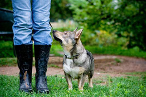 This photograph of a Swedish Vallhund by Amanda DeMarree is one of many featuring international dog breeds.