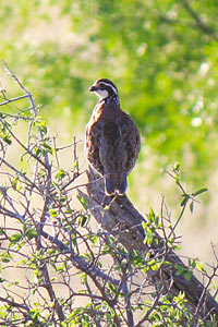 The Texas Tech-led research is the largest quail disease study ever undertaken in the United States.