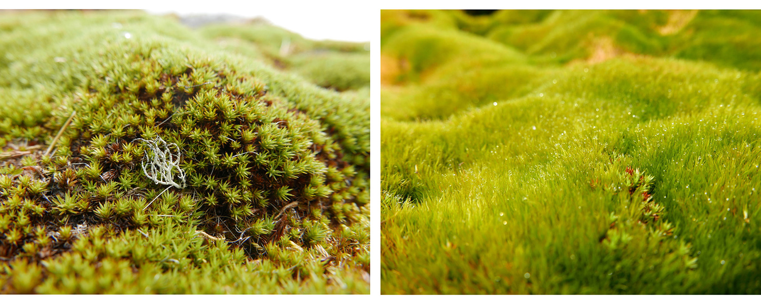 Flourishing mosses