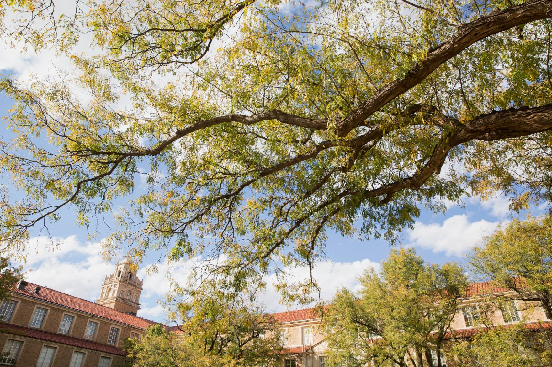 honey locust tree against blue sky and texas tech administration building